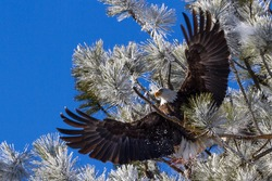 Adult american bald eagle perched on a tree branch, Coeur d' Alene, Idaho. 2015