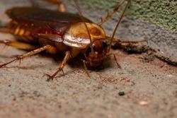 Adult American Cockroach of the species Periplaneta americana