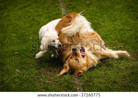 Adult and puppy Golden Retriever playing together