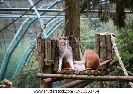 adult and tired Patas monkey sits leaning against a wooden pole and gets a massage by his younger colleague. Erythrocebus patas in the wild. Foto stock ©