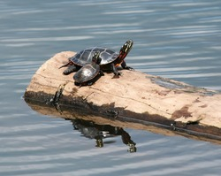 Adult and Young Eastern Painted Turtles basking on a log