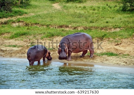 Adult and young hippos on the shore of Kazinga Channel at Queen Elizabeth National Park, Uganda