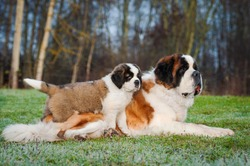 Adult and young saint bernard dogs