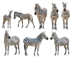 adult and young zebra isolated on white background