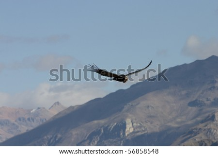 Adult Andean condor in flight over the Colca canyon in Peru