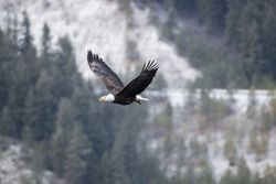 adult bald eagle fly's with fish in open sky in coeur d'alene idaho