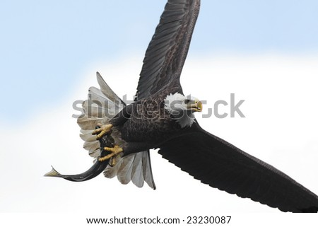 stock photo adult bald eagle haliaeetus leucocephalus carrying a fish in flight against a cloudy sky 23230087 Watch Hot Cheating Wives Porn Videos on I Have a Wife by Naughty America.