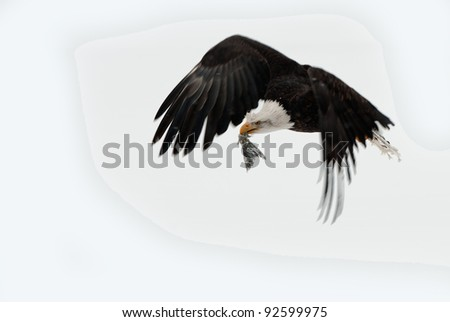 Adult Bald Eagle (Haliaeetus leucocephalus) flying with the fish tail.