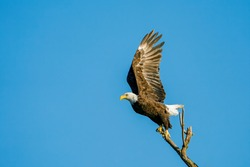 Adult Bald Eagle Lifts off From Branch
