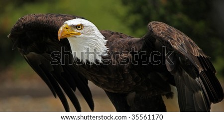Adult Bald Eagle ready to take-off.
