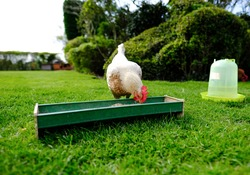 Adult bantam hen seen feeding at her trough, together with a water feeder on the right of the image.