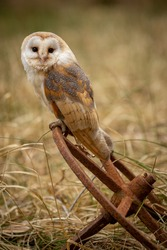 Adult Barn Owl ( tyto alba ) perched and looking at camera with a white heart shaped face