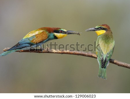 Adult bee eater feeding young bee eater