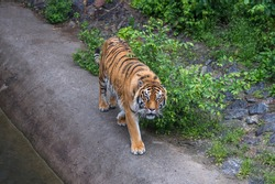 adult bengal tiger walks alone