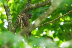Adult bird of brown hawk owl (Aobazuku) during parenting is bewareing around