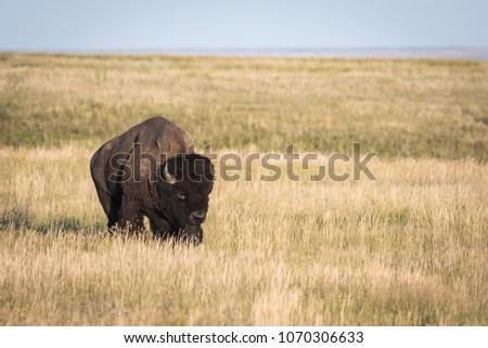 Adult Bison bull (Bison bison) on the open prairies of Saskatchewan.