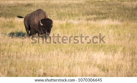 Adult Bison bull (Bison bison) on the prairies of Saskatchewan, flicking its tail.