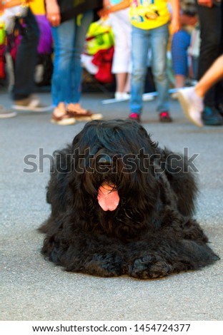 Adult black russian terrier. Dogs show purebred dog.  #1454724377