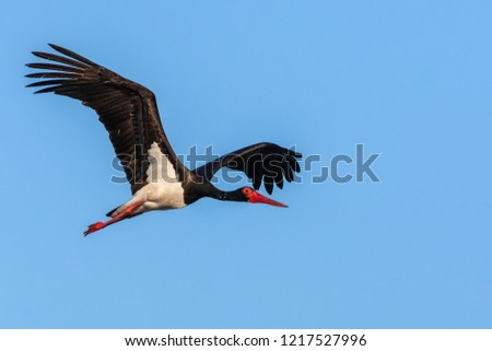Adult Black Stork (Ciconia nigra) in flight during spring migration on the Greek island Lesvos.