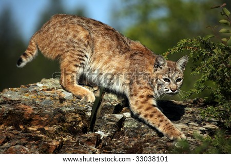 Adult Bobcat on a rocky ridge.