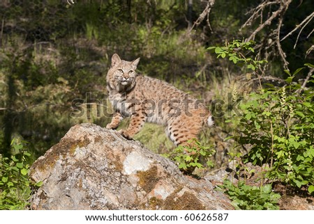 Adult bobcat on rocky outcropping