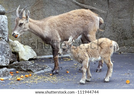 Adult capricorn with young capricorn eating for background use