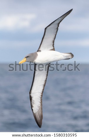 Adult Chatham Albatross (Thalassarche eremita) in flight near the only colony on The Pyramid off the Chatham Islands, New Zealand. Seen from the side, showing under wings.