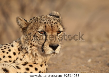 Adult Cheetah Close up