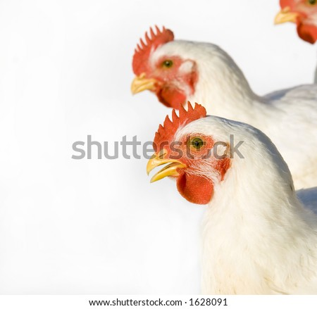 Adult chickens on a white background. Taken on a farm in central Illinois - stock photo