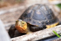 Adult Chinese box turtle stands on a wooden bridge and looks at the camera, showing off his rich brown carapace and yellow plastron and head