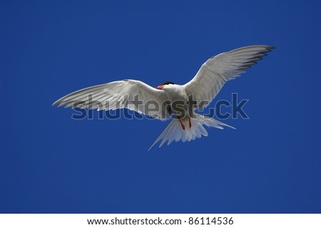 Adult Common Tern (Sterna Hirundo) in flight showing aggressive behaviour Suho Island in Ladoga Lake