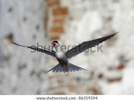 Adult Common Tern (Sterna Hirundo) in flight showing aggressive behaviour Suho Island in Ladoga Lake