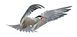 Adult common tern with open beak in flight. Isolated on white background. Close up. Scientific name: Sterna hirundo