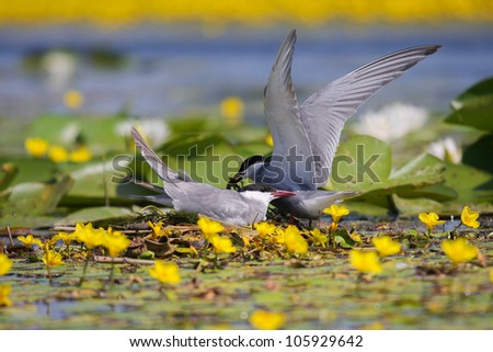 Adult common terns Sterna hirundo