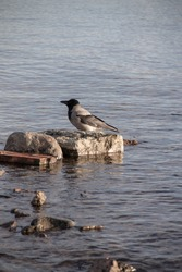 adult crow in the river above the water