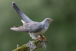 Adult Cuckoo Male Perched on Branch