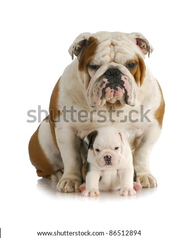 adult dog and puppy - english bulldog father and daughter sitting looking at viewer with reflection on white background