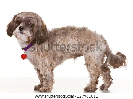 Adult dog on white background with collar and tags - stock photo