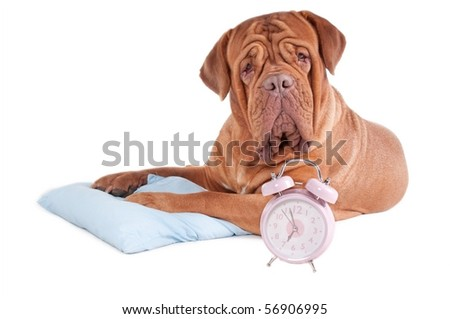 Adult dogue de bordeaux had just woke up