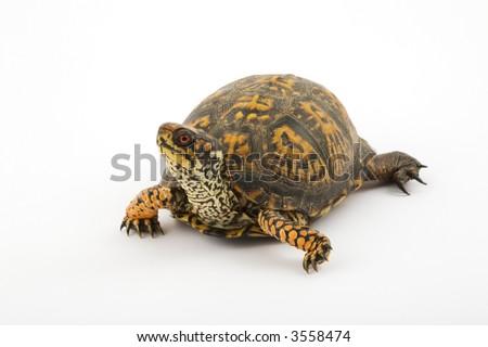 stock photo : Adult Eastern Box Turtle (Terrapene carolina carolina) is a ...