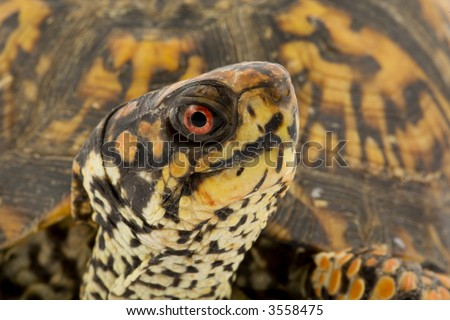 stock photo : Adult Eastern Box Turtle (Terrapene carolina carolina) is a ...