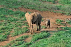 Adult elephant and calf walking trail in Cabarceno Nature Park, Cantabria, Spain.