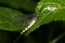 adult Ephemera danica (green drake mayfly) on a leaf