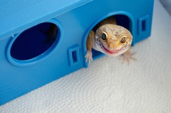 Adult Eublefar lizard licks its lips and peeking out of his plastic blue house. Concept of keeping lizard at home. Funny pets. Background with animals with copy space. Lizard shows its tongue.