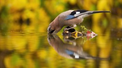 Adult eurasian jay, garrulus glandarius, leaning over the water while drinking. The reflection of wild bird in the water in autumn colors. Curious bowed animal with beak submerged in the water.