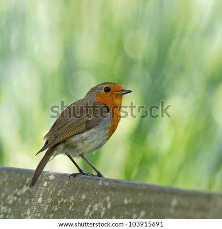 Adult European Robin perched on garden bench during late springtime, with background of out-of-focus green leaves.
