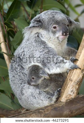 adult female Australian koala bear mother with male joey clutching her underbelly, Australia