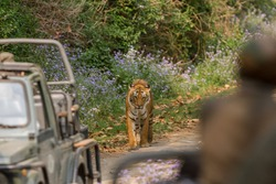 Adult female Bengal Tiger walking towards safari visitors on a summer afternoon at Corbett National Park, Uttarakhand, India