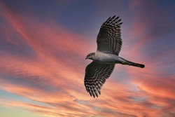 Adult female bird of Sparrow hawk (Haitaka) is flying calmly in the sunset glow background