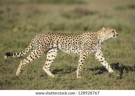 Adult Female Cheetah (Acinonyx jubatus) Tanzania, Serengeti National Park